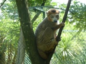Friendly lemur at the zoo